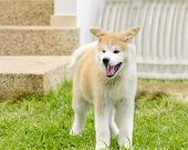 pic of akita-inu  - A profile view of a young beautiful white and red Akita Inu puppy dog standing on the lawn yawning and having its mouth open - JPG