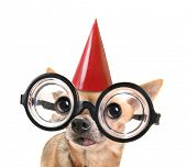 stock photo of seeing eye dog  - a cute chihuahua with giant glasses on - JPG