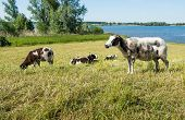 stock photo of dike  - Brown and white spotted sheep lying and grazing on a dike beside the river in the warm spring sunshine - JPG