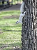 foto of albinos  - Albino squirrel climbing down a tree.  Springtime in Wisconsin.