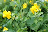 pic of celandine  - medical yellow celandine bloom in the meadow