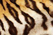 stock photo of tigress  - detail on tiger real black stripes fur on animal - JPG