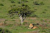 Постер, плакат: A Kalahari Lion Panthera Leo In The Addo Elephant National Park
