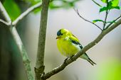 pic of goldfinches  - An American goldfinch perched on a limb of a tree adds to the beauty of a spring day.