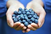 stock photo of abundance  - Woman with handful of freshly picked organic blueberries - JPG