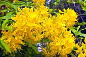 stock photo of azalea  - Golden yellow azalea  - JPG