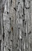 Old Weathered Wood With Holes, Natural Texture Background. poster