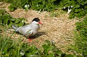 stock photo of tern  - Arctic Terns  - JPG