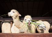 stock photo of eat grass  - close up face of llama alpacas eating ruzi grass show lower tooth in mouth - JPG