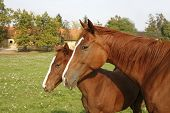 image of mare foal  - Thoroughbred mare and foal grazing in pasture following mother - JPG