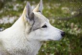 image of laika  - Portrait of a white dog on a blurred background - JPG