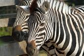 picture of tame  - zebra portrait image taken on a tame animal at the zoo - JPG