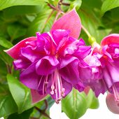 foto of pompous  - blossoming beautiful branch of delicate colorful fuchsia isolated on white background  - JPG