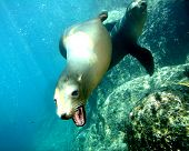 stock photo of sea lion  - A small sea Lion with his mouth open - JPG