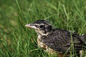 picture of grass bird  - Young robin bird fall down on the grass in Spring time - JPG