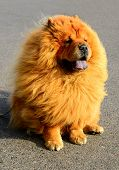 foto of chow-chow  - Brown friendly chow - JPG