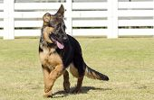 image of alsatian  - A young beautiful black and tan German Shepherd puppy walking on the grass while looking happy and playful. The Alsatian aka Berger Allemand is a very good security dog often used by the police and military.
