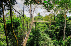 image of canopy  - Canopy Walkway in Kakum National Park - JPG