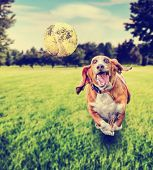 picture of basset hound  -  basset hound running to try and catch a tennis ball in mid - JPG