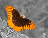 picture of color spot black white  - Diana butterfly on Butterflyweed - JPG