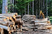 foto of afforestation  - Sawed Firewood Dropped In a Pile In The Forest - JPG