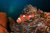 pic of clown fish  - Nemo Fish  - JPG