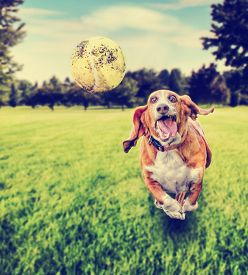 stock photo of balls  -  basset hound running to try and catch a tennis ball in mid - JPG