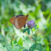 picture of red clover  - Male Diana Fritillary  - JPG