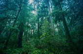 stock photo of redwood forest  - American Northwest Rainforest Foggy Landscape - JPG
