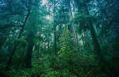 pic of rainforest  - American Northwest Rainforest Foggy Landscape - JPG