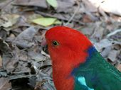image of king parrot  - an australian king parrot on the ground looking for food - JPG
