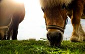 pic of horses eating  - Dark horse on a field eating grass with a nice - JPG