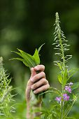 picture of willow  - hands with leaves of willow - JPG