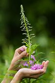 picture of willow  - hands gathering flowers of willow - JPG