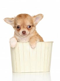 picture of chiwawa  - Chihuahua puppy in a box on white background - JPG
