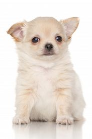 stock photo of chiwawa  - Chiwawa puppy in front of white background - JPG