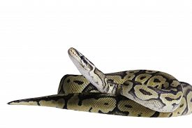 picture of pythons  - pastel citrus calico ball python Python regius isolated on white background - JPG