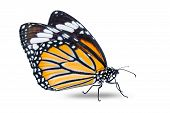 Common Tiger Butterfly poster