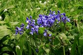Common Bluebell (Hyacinthoides