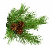 Green Pine Christmas Tree Green Branch And Cones Isolated On White Background .green Branches Of Pin poster
