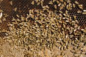 stock photo of bee keeping  - Colony of bees - JPG