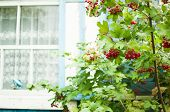 viburnum opulus berries and leaves outdoor in autumn fall. Bunch of red viburnum berries on a branch poster