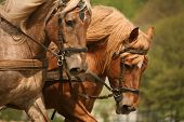 picture of horse plowing  - Nostalgic cultivation with two magnificent horses in Germany - JPG