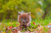 Little Kitten On A Walk On The Grass. The Kitten Is Walking. Pet. . Fluffy Smoky Cat With A Haircut. poster