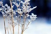 Grass Branches Frozen In The Ice. Frozen Grass Branch In Winter. Branch Covered With Snow poster