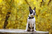 Dog Breed Boston Terrier Sitting In The Park On The Bench And Waiting For The Owner poster