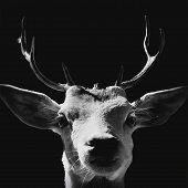 Black And White High Contrast Animal  Art Portrait Of A Goat Isolated In Shadows. poster
