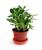 stock photo of house-plant  - Young Jade houseplant isolated on white background - JPG