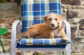 Portrait in blue chair outdoor little cross breed dog against stone wall poster
