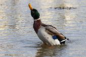 A Male Mallard Drake Rearing Up Out Of The Water Whilst Shaking His Head poster